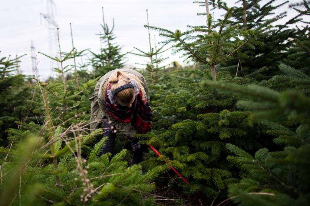 Weihnachtsbaume selber schlagen in hessen