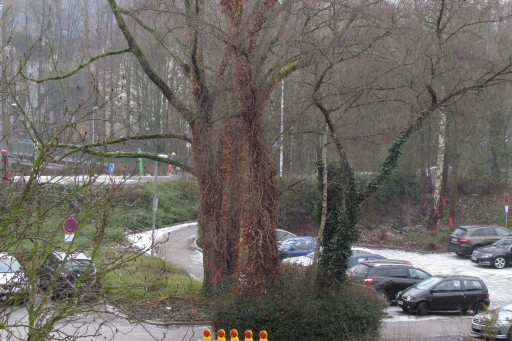 neun große bäume müssen gefällt werden | wr.de | letmathe