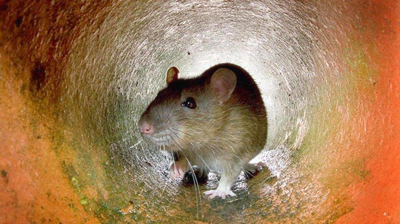 grundst ckseigent mer sollen ratten selbst bek mpfen nachrichten aus heiligenhaus der stadt. Black Bedroom Furniture Sets. Home Design Ideas