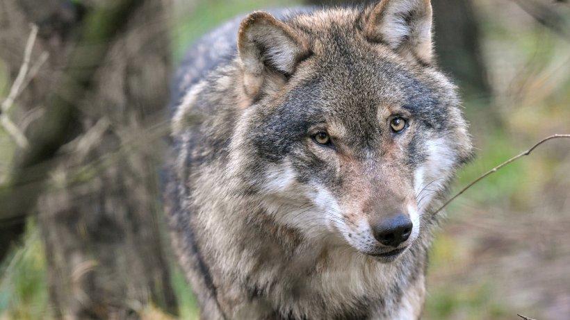 Wolf Schermbeck