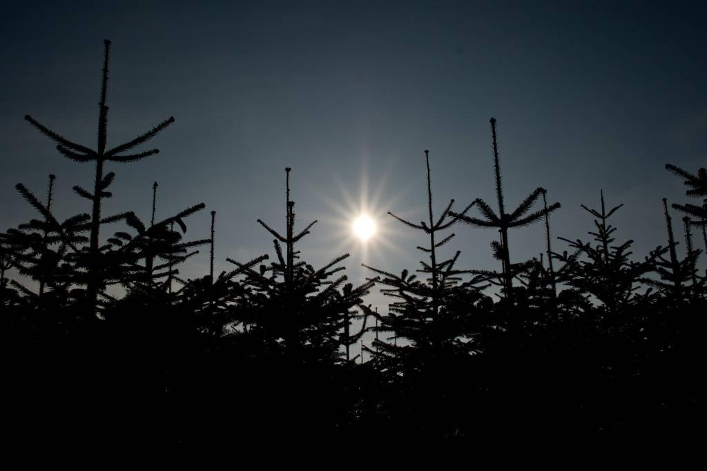 Trockenheit setzt Weihnachtsbäumen zu - spätere Auswirkungen | wr.de ...