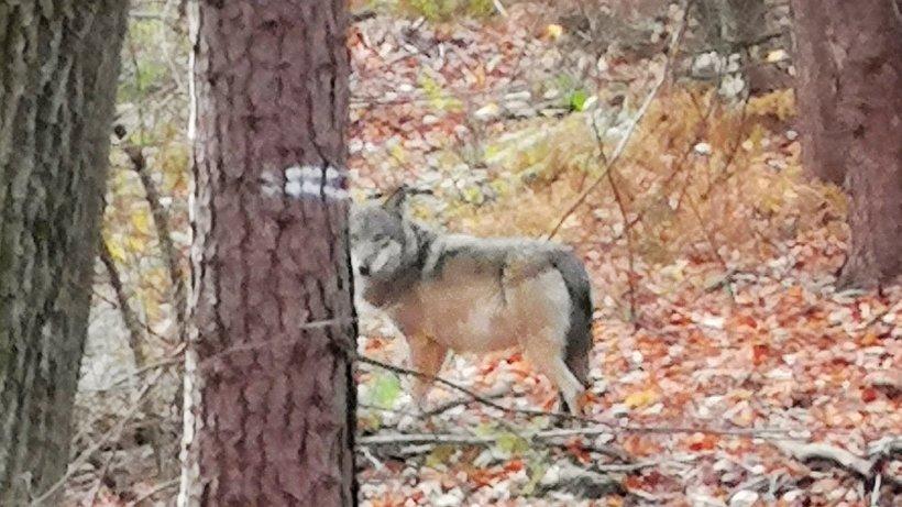 Wolf: Kreisbauern fordern mehr Hilfe und Regeln für Tötung